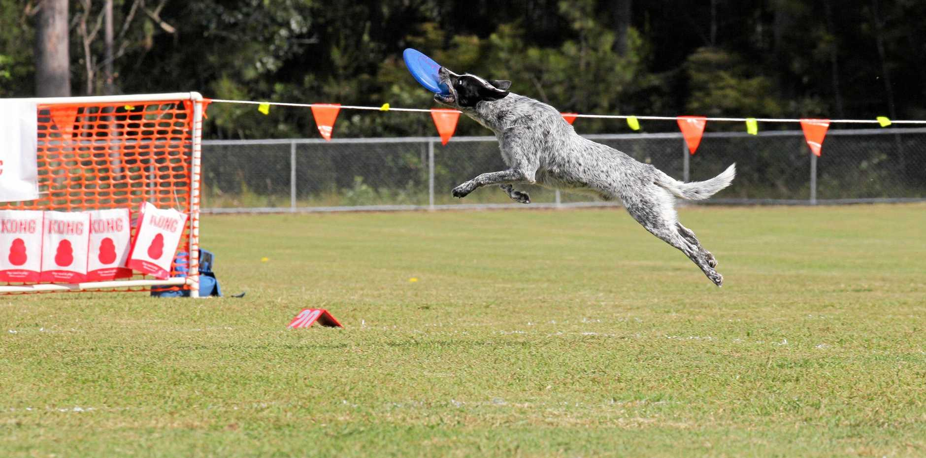 GOTCHA: Eight-year-old vorder cross Collie Toohey catching a frisbee.