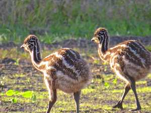 Less than 100 coastal emus left
