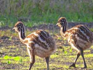 Less than 100 coastal emus left