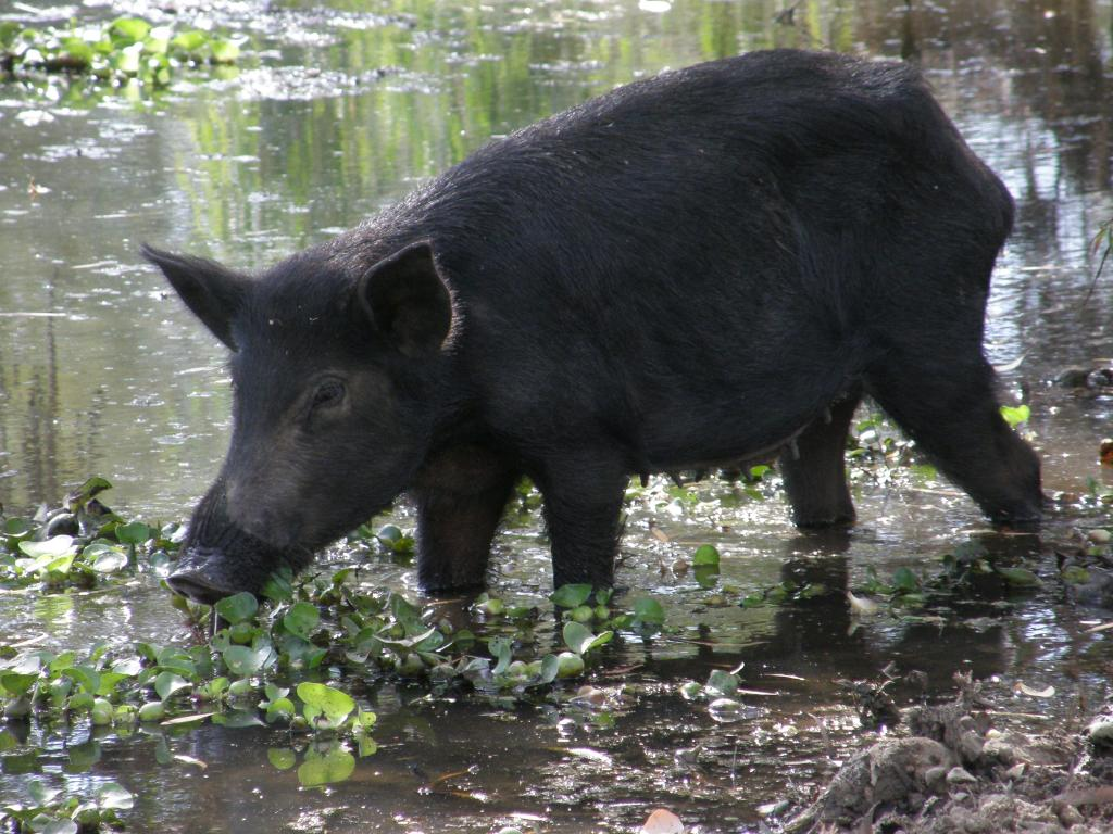 A feral pig in a swamp north of Normanton