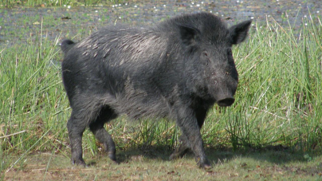 A feral pig on the loose