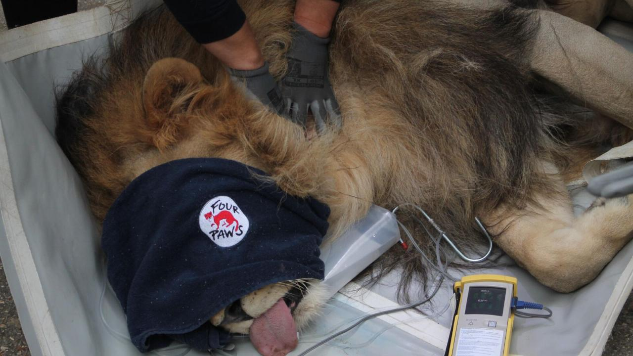 Lenci and the other rescued animals were transported to a zoo in Albania's capital Tirana. Picture: Four Paws