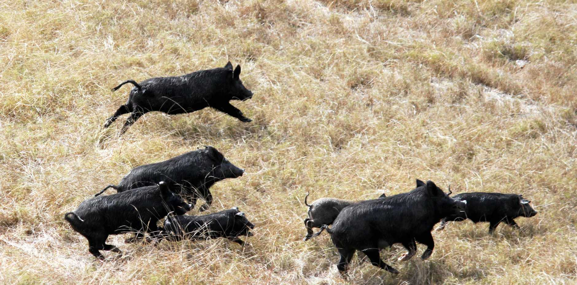 Feral pigs.