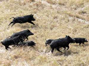 Is the feral pig bounty a necessary evil?