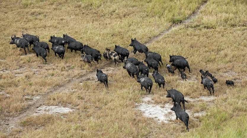 WILD PIGS: Gympie Regional Council continue to offer a $10