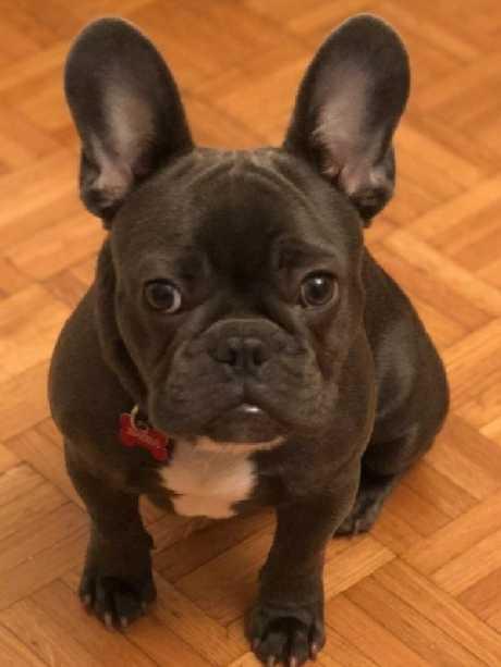 Patterson's french bulldog Kobe