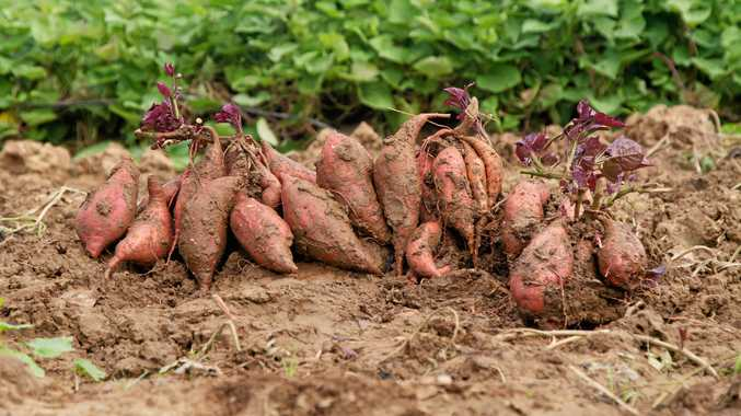 Sweet! Potato that counts in five-a-day vegie goal