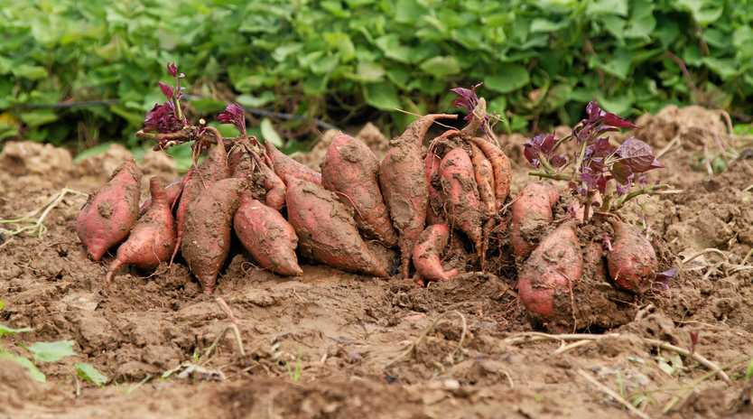 Sweet potato plants are vigorous vines that will grow over the ground, with the edible tubers developing below ground.