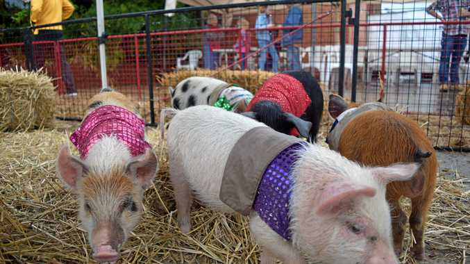 Who needs horse races when you can have pig races instead? Find out where you can back a