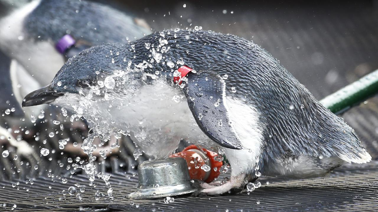 Penguin sprinkling should be kept to a bare minimum, at least until Copperlode cops a decent drenching. PICTURE: DAVID CAIRD