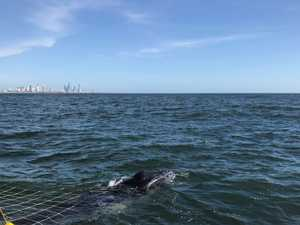 Calf whale rescue after caught in shark nets