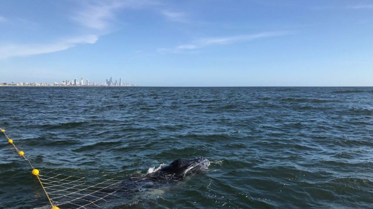 A calf humpback whale was set free after becoming caught in shark nets off Burleigh Heads this morning (3/11/18). Picture: Supplied.