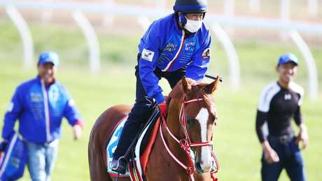 Japanese stayer Chestnut Coat gallops during a Werribee trackwork session.