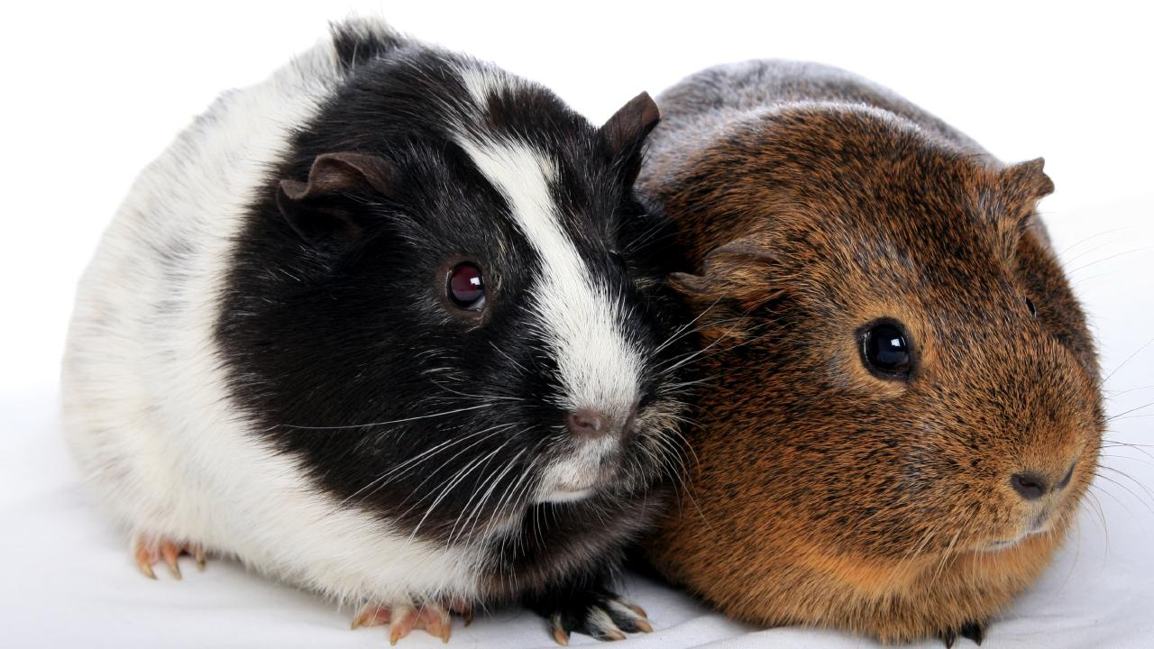 A man, 25, is alleged to have thrown George the guinea pig against a wall in a domestic incident.