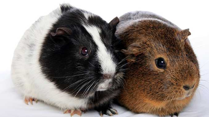Toowoomba man accused of throwing guinea pig against wall