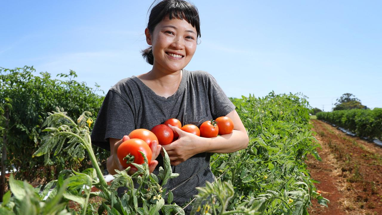 Backpacker Aki Funada, 31 of Hiroshima in Japan, picking tomatoes at Wellington Point. Picture: Liam Kidston