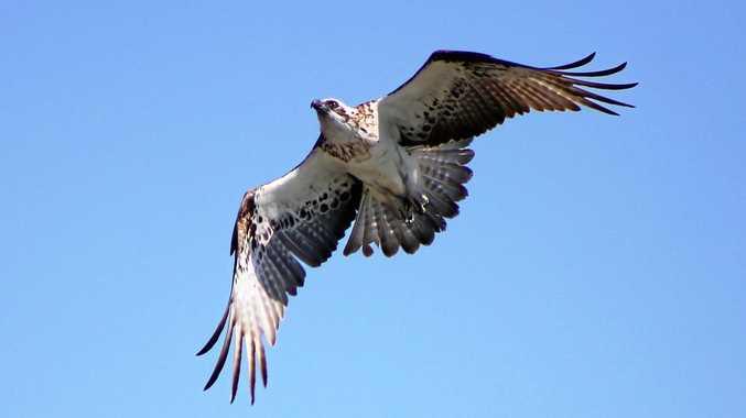 An osprey at Urangan.