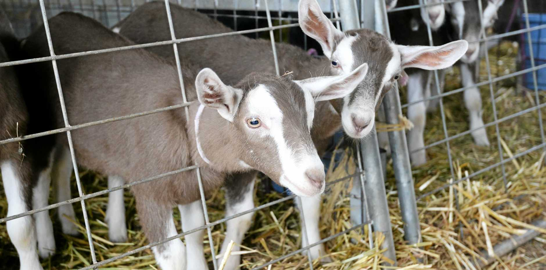 Goats are being heralded by MLA as an ideal way to diversify into new markets.