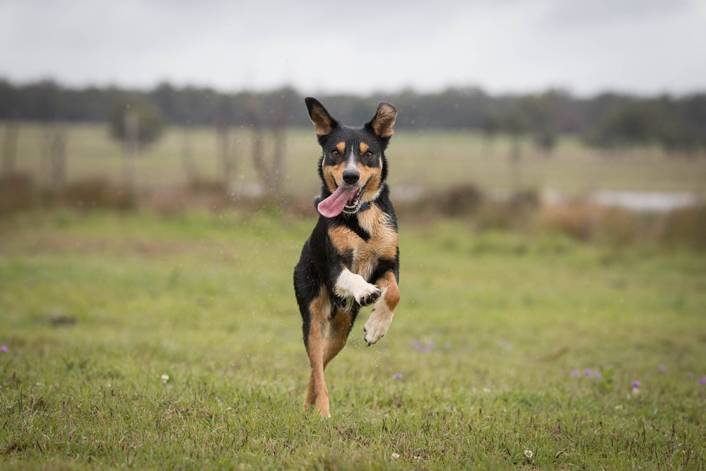 An excited kelpie captured by Kirby Reaves.