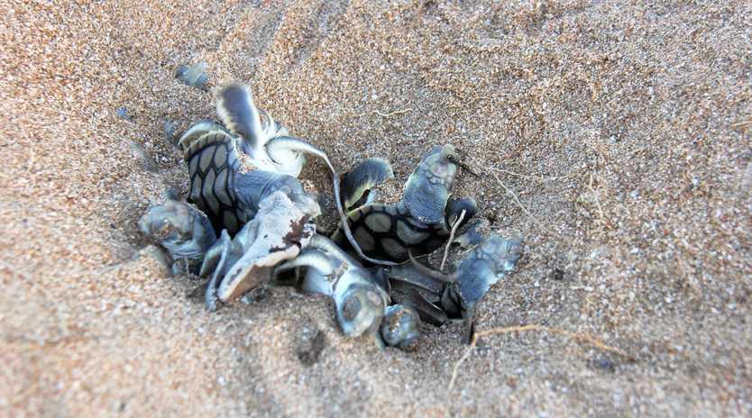NESTING SEASON: Flatback hatchlings emerge.
