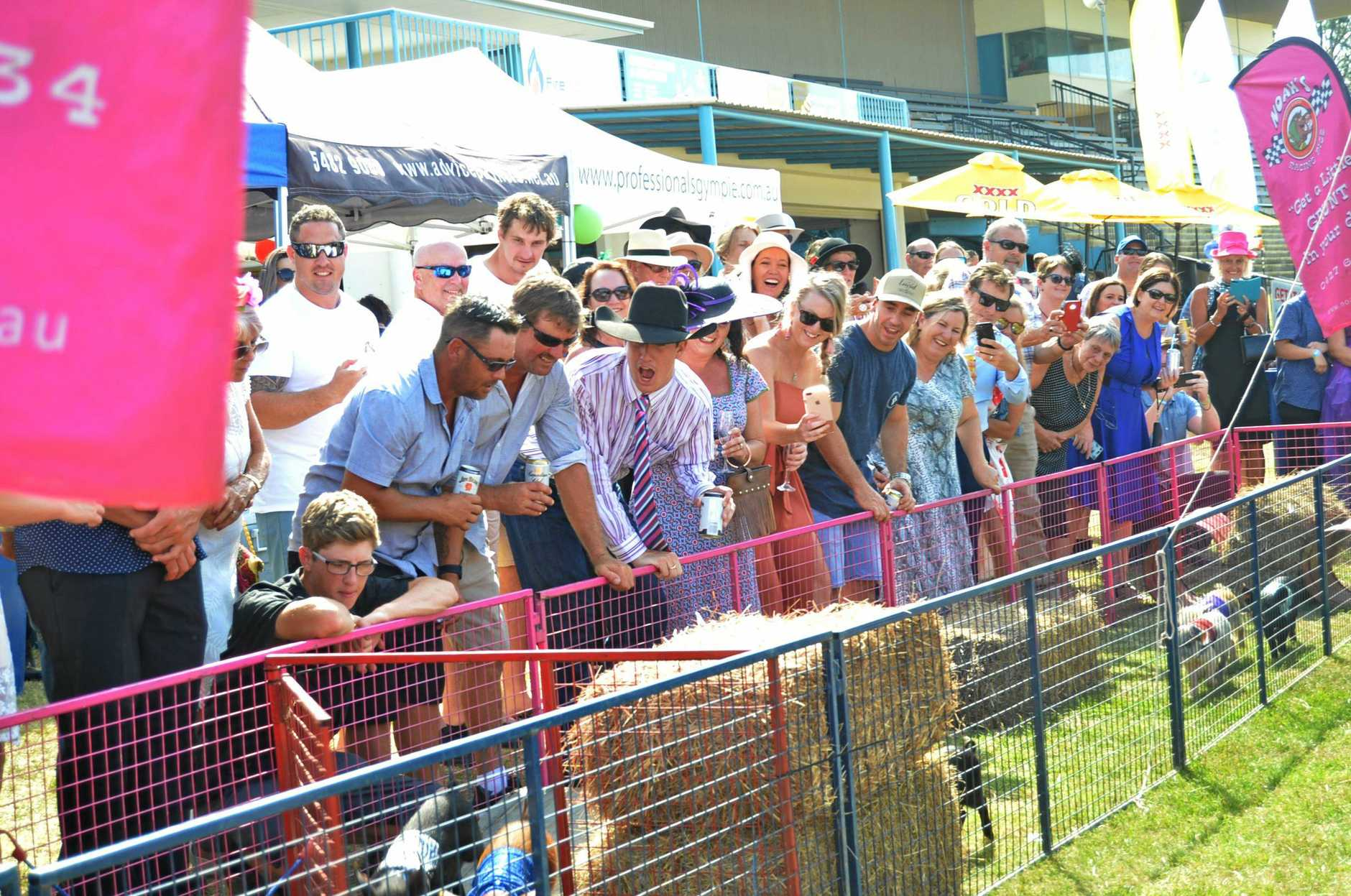 pig races at the Gympie Turf Club