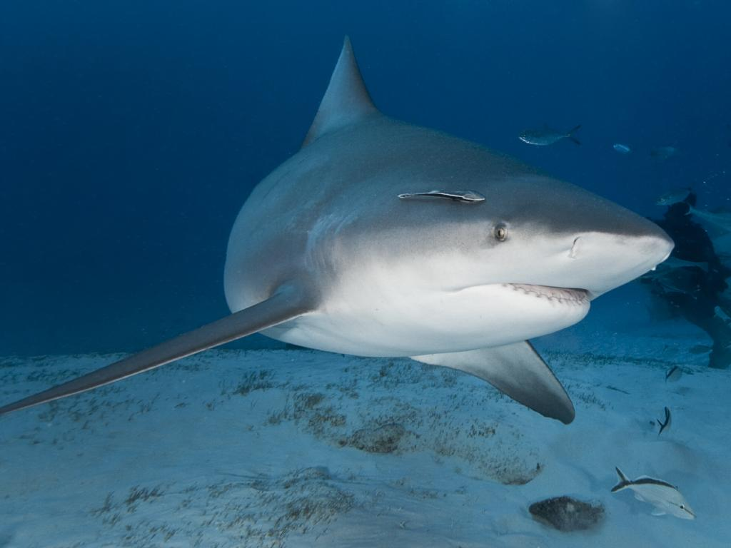 A bull shark approaching divers.
