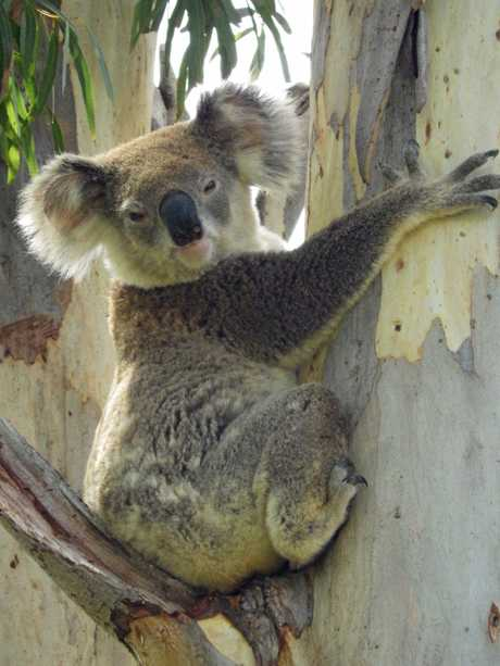 Sadly Annie Longmore's photo was too small to use, so this photo from another member of the Widgee Koala group has been used in its place.Annie Longmore and her husband moved to Widgee 6 months ago.