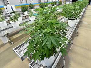 First look at Coast's medicinal marijuana crop