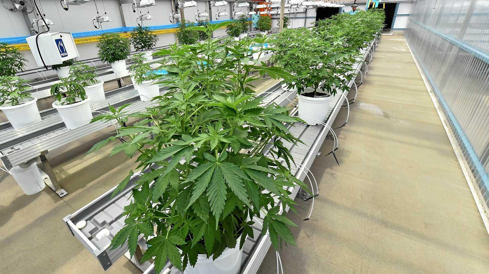 GOOD OIL: Medifarm first medicinal cannabis plants grown at the facility.