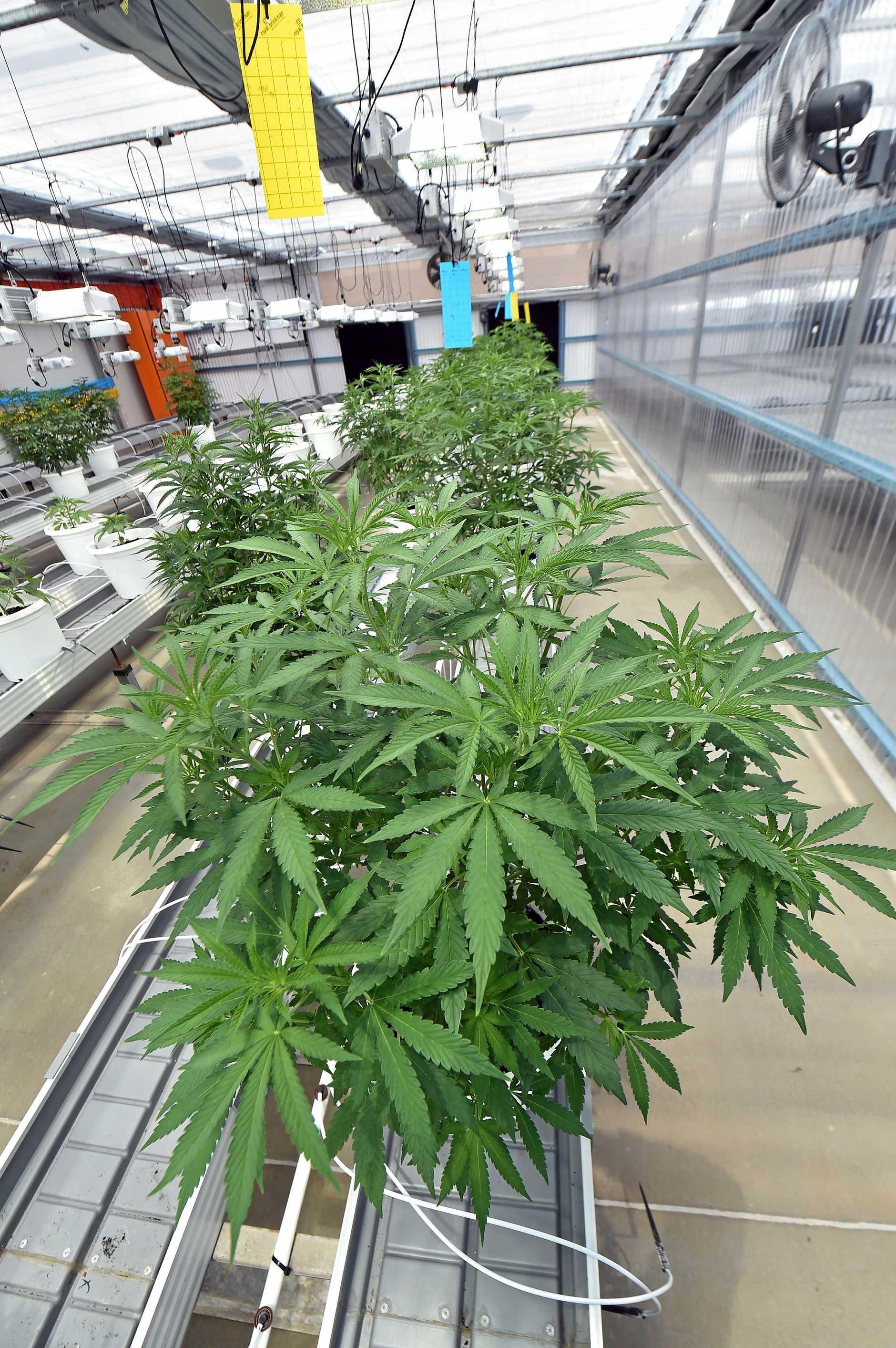 Generic photo of a cannabis farm.