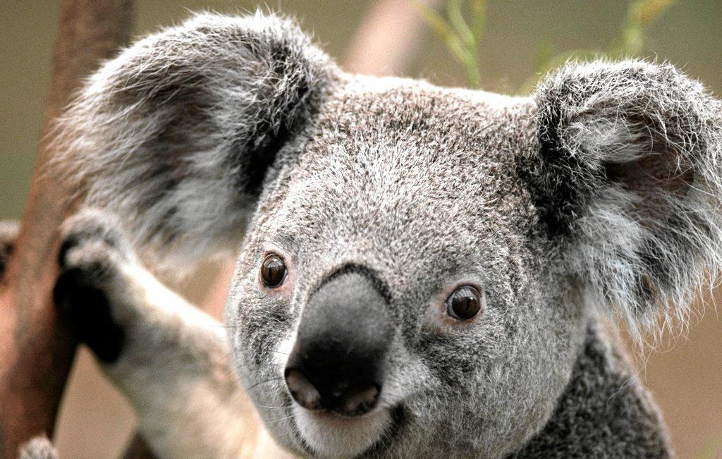 A NEW 2400ha habitat has been preserved for Noosa koalas.