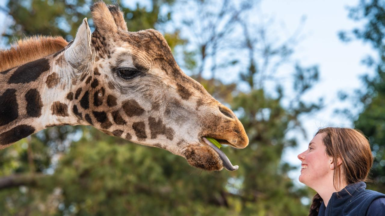 Giraffe Mukulu died at the age of 23 years, Melbourne Zoo confirmed today. Picture: Jason Edwards
