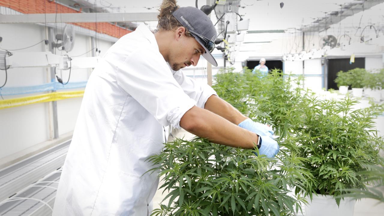 Master grower Steffen Kraushaar in the Mother Plants Greenhouse at MediFarm. Picture: Megan Slade/AAP