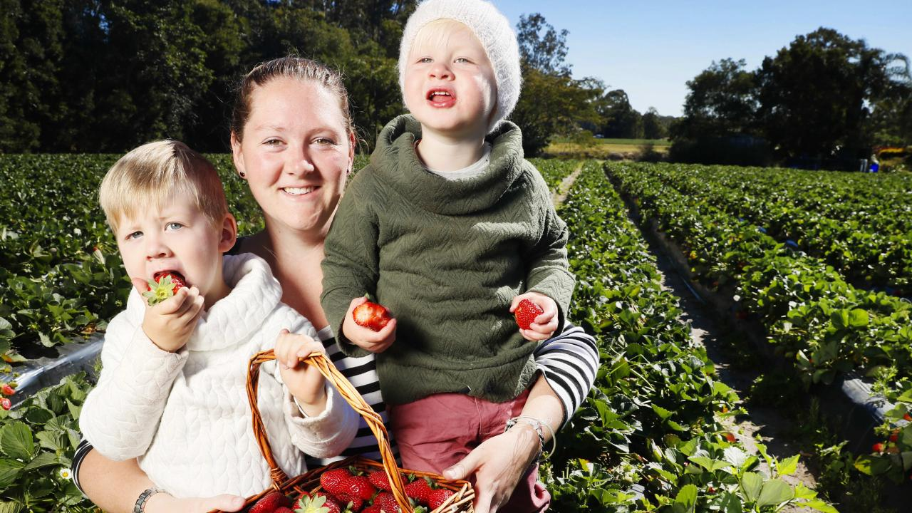 Kiara Carmichael with sons Patrick, 3, and Owen 2, pick strawberries at Strawberry Fields at Palmview. Picture: Lachie Millard
