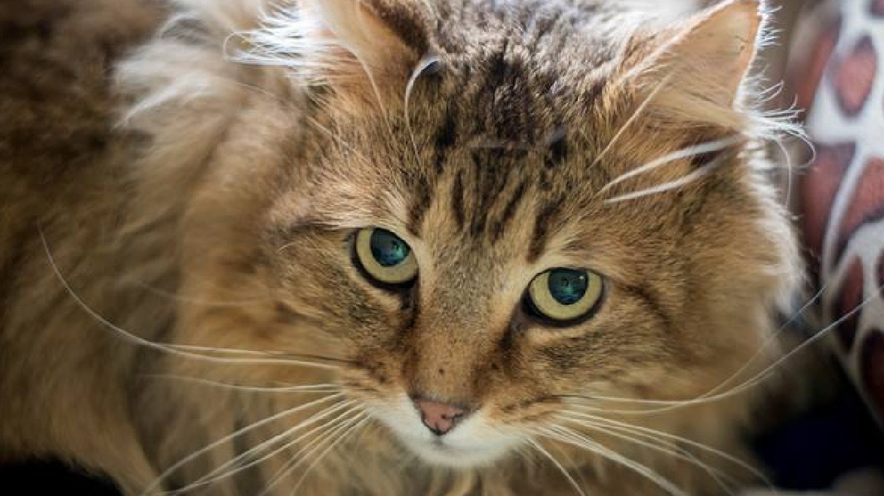 A beloved family cat has found itself in a hairy situation after being stuck in a large tree for two days. Now the concerned pet owner fears it may 'die'.