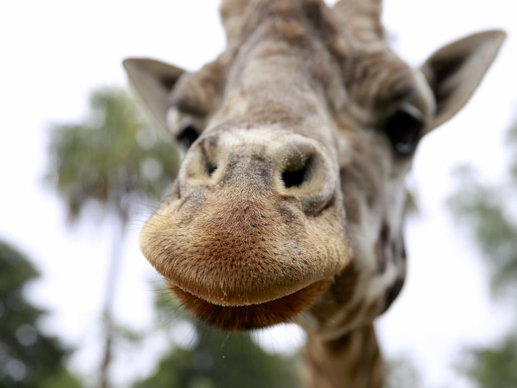 The Melbourne Zoo giraffe was known worldwide. Picture: Melbourne Zoo/AAP