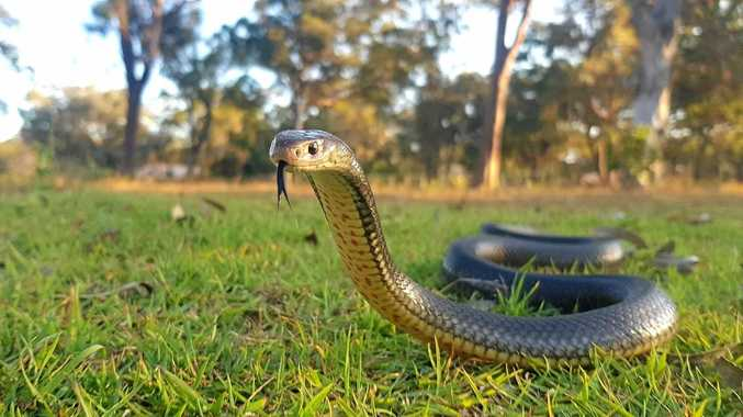 COOL HEAD: Keep them calm and limit movement is the advice for victims of snake bites from the state ambulance service.