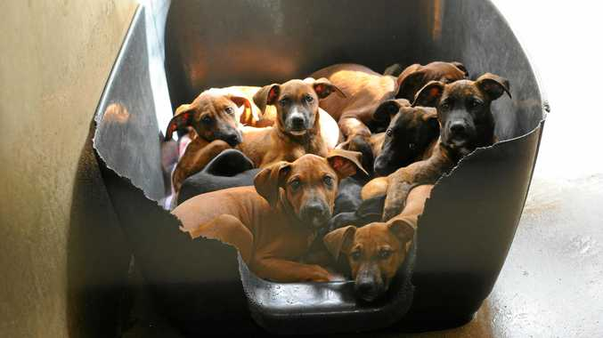 FILE PHOTO: Puppies and two dogs were seized from a Woombye home.