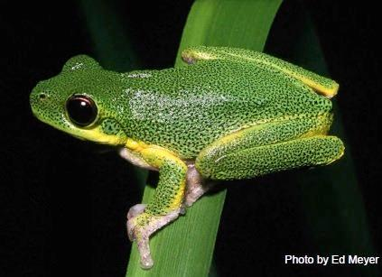 The Cooloola sedge frog.