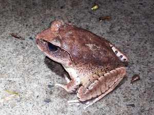 Free frog app identifies rare species in Ipswich bushland