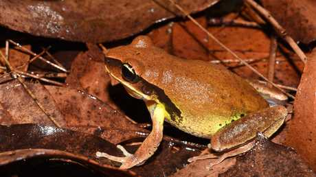 Another rare frog from southeast Quensland, the Litoria brevipalmata. Picture: Jodi Rowley, Australian Museum.