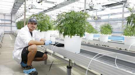 Master grower Steffen Kraushaar in the greenhouse at MediFarm. Picture: Megan Slade/AAP