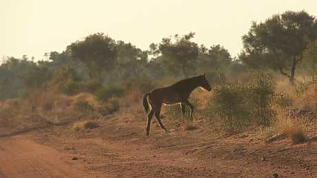 A  file photo of a wild horse seen on the track to Jarra Jarra where the tragedy happened Picture: Chris Tangey/Alice Springs Film and Television