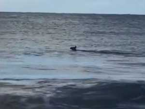 Kangaroo spotted swimming at beach