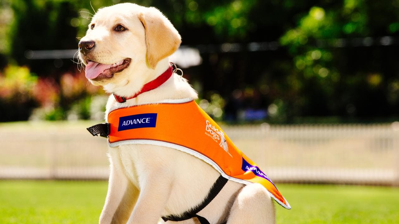 A Guide Dog puppy. Picture: Jonathan Ng