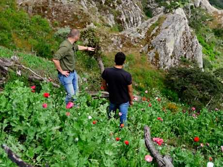 The Sinaloa cartel controls fields of poppies, for its heroin trade. Picture: Sunday Night