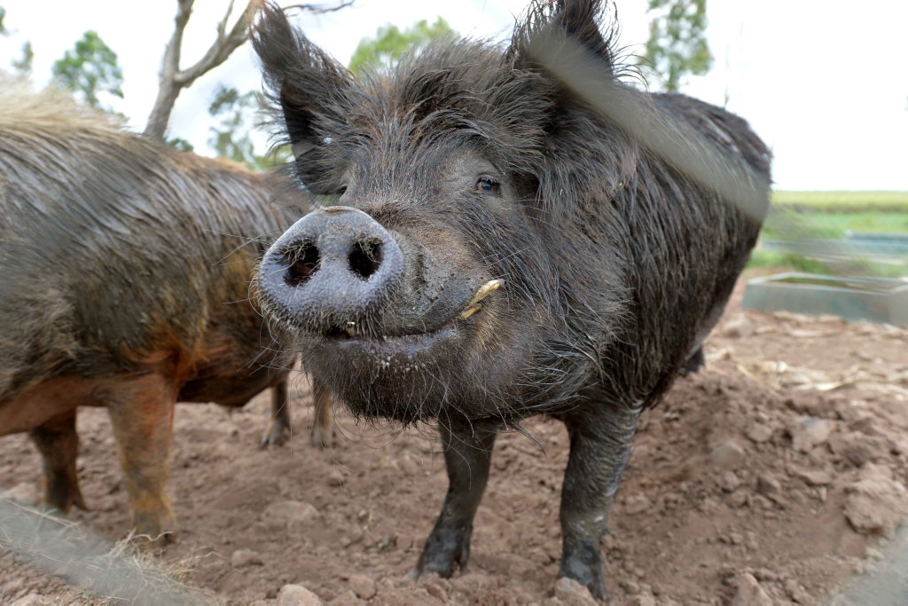 If China chooses to improve market access to products like pork, Food Leaders Australia believes the Darling Downs could benefit greatly.