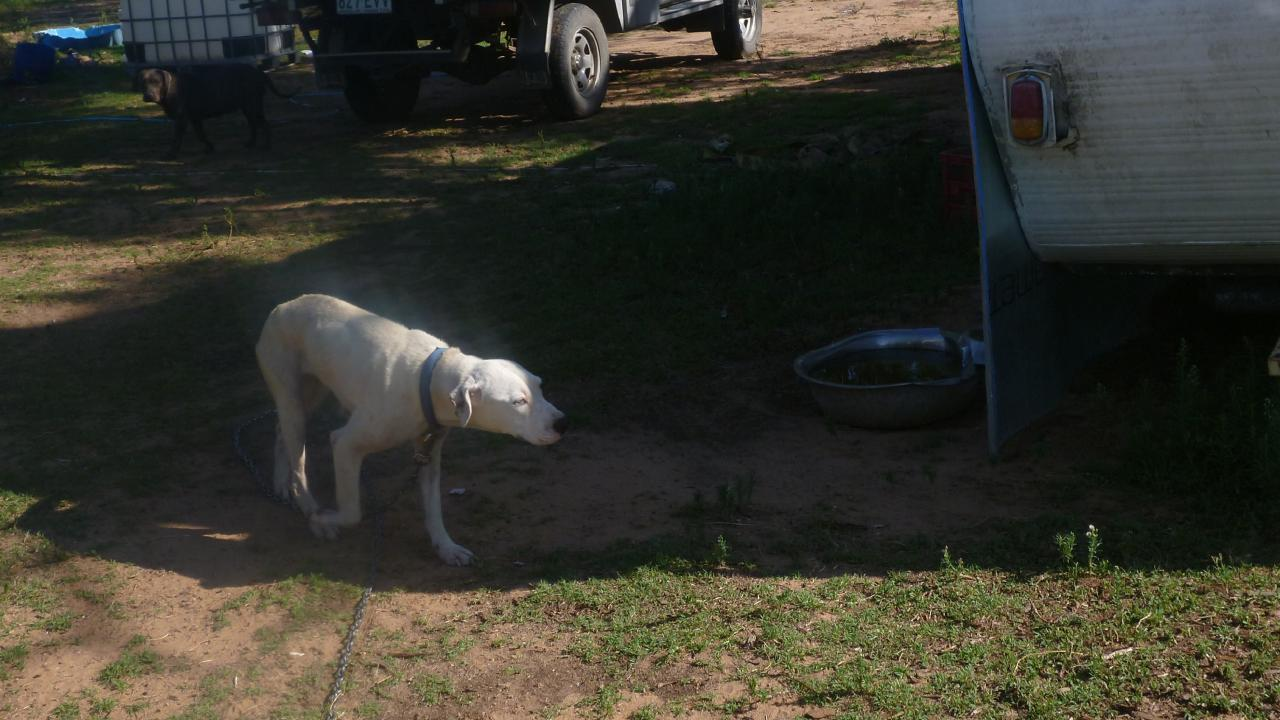 One of the dogs tied up at the property. Photo Supplied RSPCA