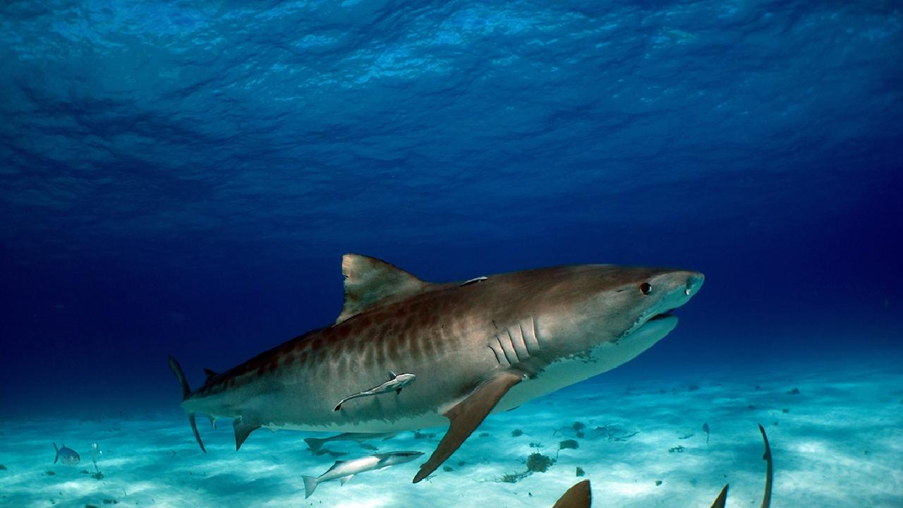 Tiger sharks are easily distinguishable due to their highlycharacteristic squared-off snout and striped marking pattern.