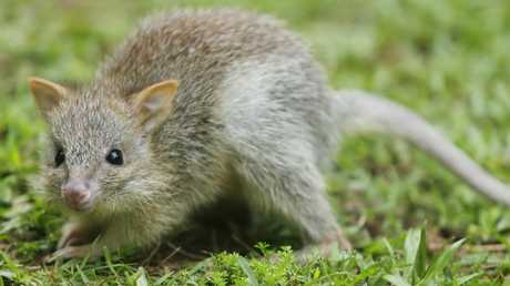 The northern bettong.
